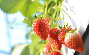 色鮮やかでおいしそうなイチゴ
