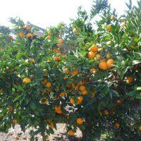 本日の蜜柑畑。もうすぐ収穫ですね~