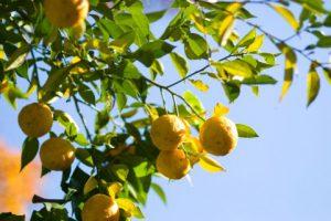 木に実っている柚子