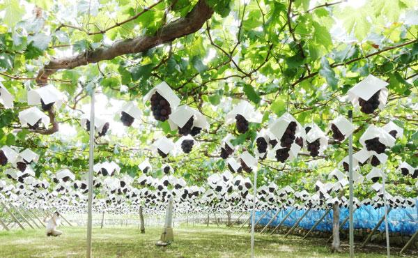 岩崎園さんの葡萄畑の写真