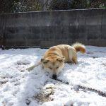 大雪ではしゃぐわが家の犬