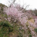 愛犬と一緒に近所の山へ桜を見に行ってきました