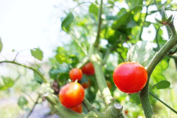 露地栽培のミニトマト